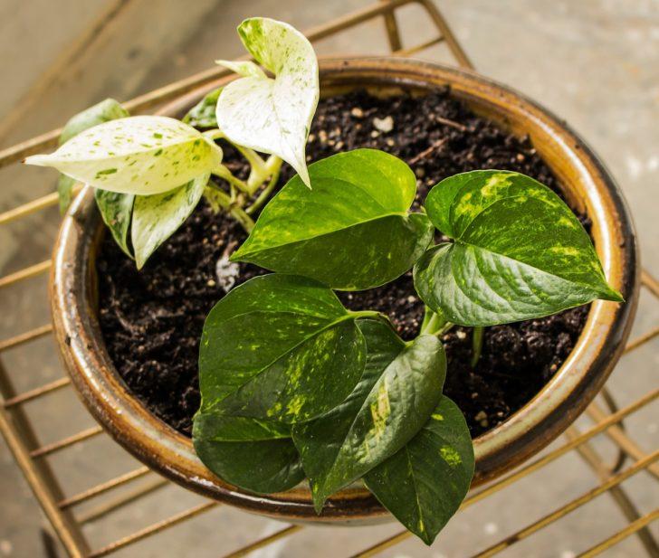 Planta de interior potus pequeño