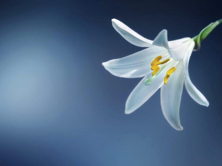 Flor blanca y fondo azul